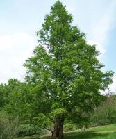 水杉 Metasequoia glyptostroboides