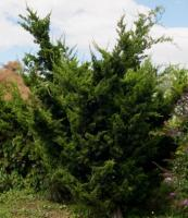 龙柏 Juniperus chinensis