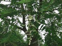 香椿 Cedrela sinensis