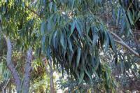 柳叶桉 Eucalyptus saligna