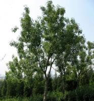 中国白蜡 Fraxinus chinensis