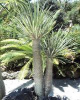 非洲棒槌树