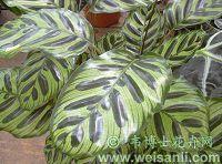 孔雀肖竹芋