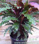 红背肖竹芋
