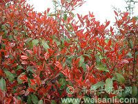 '红罗宾'红叶石楠