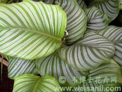 圆叶肖竹芋