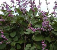 紫母猪耳豆