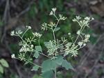 滨藜叶羊舌菊