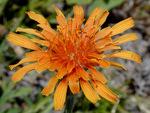 橙花羊食菊