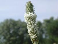 白花瓣蕊花