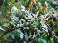 芳香白珠树