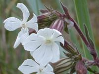 白花蝇子草