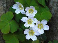 白花酢浆草