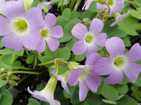 紫花酢浆草
