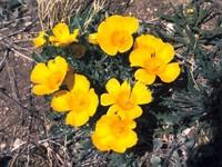墨西哥花菱草