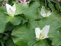 白花延龄草