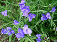 西方紫露草