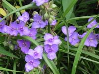 苞瓣紫露草