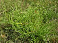 多歧盐角草