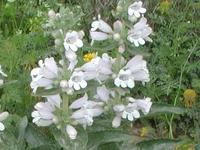 毛地黄五蕊花